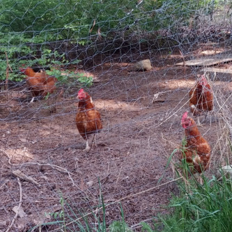 Happy Free-Range Chickens